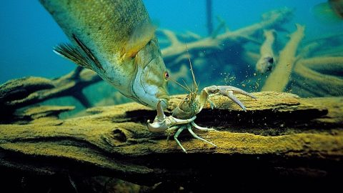 Houdini Crayfish Escapes Attack from Huge Bass in Amazing Video
