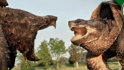 Battle of the 'Snappers': Alligator Snapping Turtle vs Common Snapping Turtle