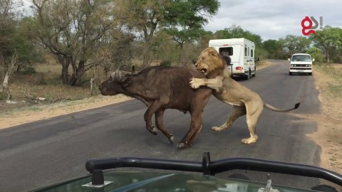 Lions Take Down Buffalo Right in Front of Tourists