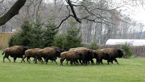 17 Bison Escape Farm, Officials Kill 10