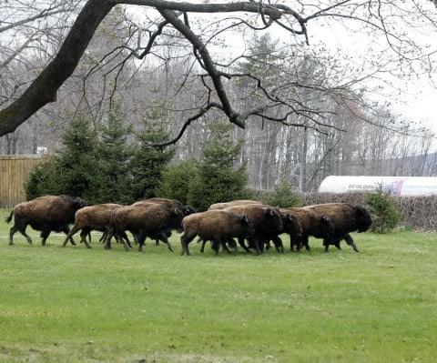 17 Bison Escape Farm, Officials Kill 10