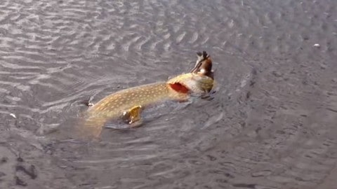 Video: Huge Pike Wasn't Big Enough to Swallow this Bird