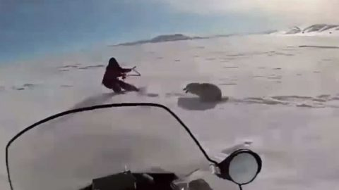 Video: Snowmobile Runs Over Wolf to Save Hunter