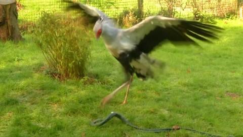 Video: Secretary Bird Stomps Demolishes Snakes