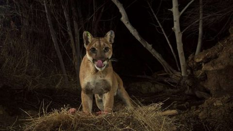 Graphic Trail Footage Captures Cougars and Bears Feasting on Deer
