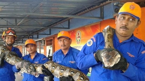 Ridiculously Massive Snake is 24 Feet of Horror and Possible World Record