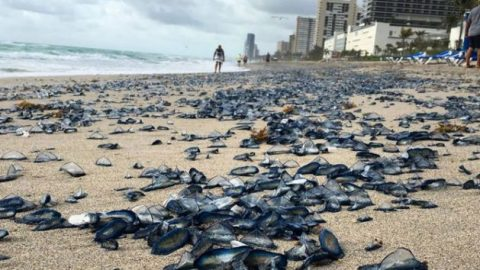 Thousands of Dead, Purple Jellyfish Cover Florida Beach