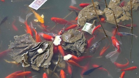 Koi are Being Killed by Cash Throwing Visitors