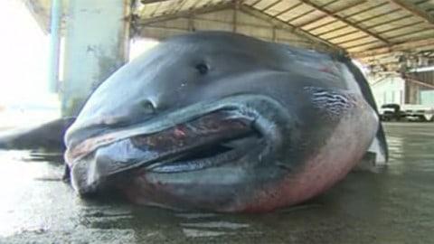 Rare, Massive, Nightmarish Megamouth Shark Caught By Fishermen