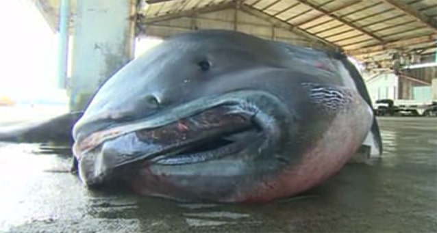 Rare, Massive, Nightmarish Megamouth Shark Caught By Fishermen - Outdoors360