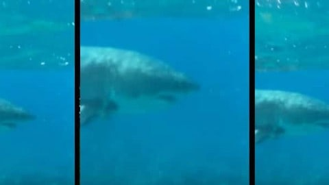 Horrified Snorkelers Discover Great White Shark Lurking on Shallow Florida Reef