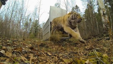 Orphaned Siberian Tiger Baby Miraculously Survives in Wild, Rescued, Then This Video Happens