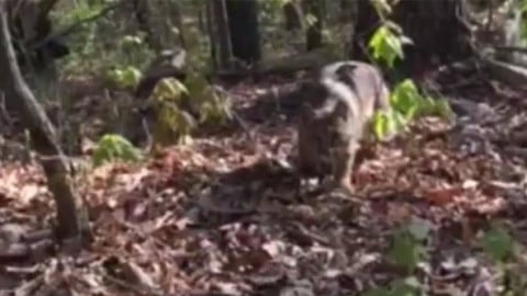 Bobcat Stalks, Attacks Turkey Hunter on Video