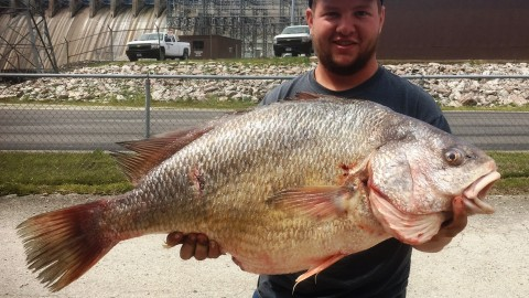 Bowfisherman Shoots Record 33″ Freshwater Drum That's So Big it Looks Fake