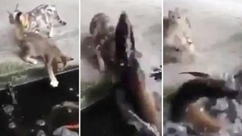 Ruthless Pike Leaps, Attacks, Drags Kitten Into Pond on Video