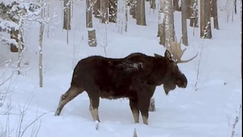 Home Video of a Moose Captures This Extremely Rare Sight…Watch the Antlers Closely