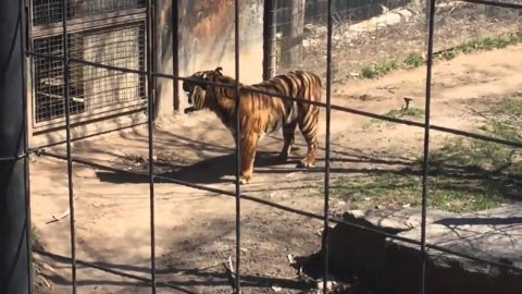 Darwin Nominee: Woman Loses Hat and Jumps into Tiger Cage