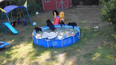Bear Family Takes Over Family Swimming Pool Throw Bear Pool Party