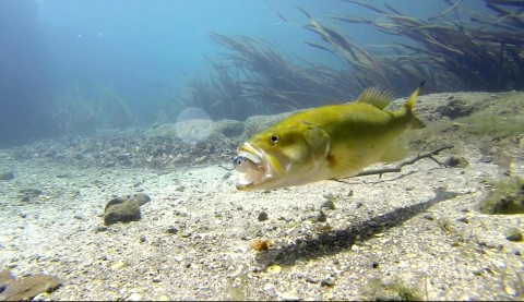 Amazing Bass Eating Lure Video In Crystal Clear Water Shows Power of Determination