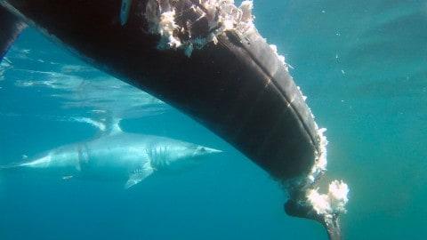 Huge Mako Shark Relentlessly Attacks Boat, Eats 700lb Swordfish on Video