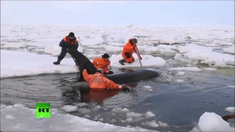 Daring Eight Hour Rescue Saves 4 Orcas Trapped in Ice