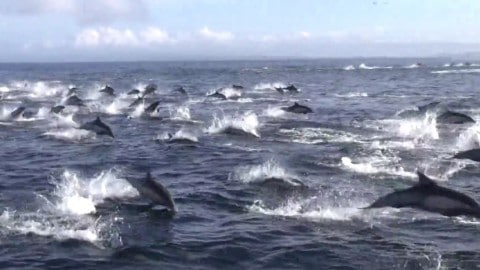 Jaw-Dropping Video of Killer Whales Ambushing Massive Dolphin Pod That's 1,000 Strong