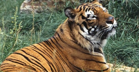 Tiger Kills Zoo Keeper in Tragic Incident; Visitors Barricaded in Gift Shop
