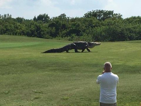Giant Alligator Roaming Golf Course Goes Viral Because it Looks Like a Dinosaur
