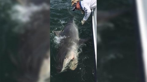 Freakishly Large 1,400-Pound Tiger Shark Caught Off South Carolina and She's Still Growing