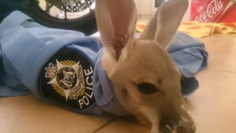 Kangaroo Adopted by Police Survives Eagle Attack, Makes International Headlines