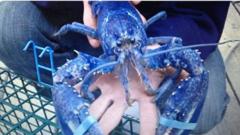 Fishermen Caught Two Incredibly Rare Blue Lobsters Last Weekend