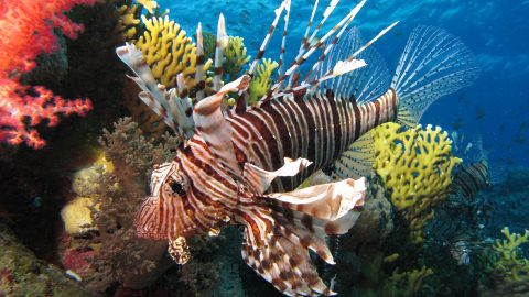 Whole Foods Stores to Start Selling Lionfish to Remove Invasive Threat from Ecosystem