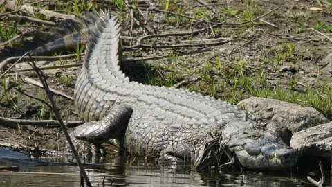 3 Nile Crocodiles Captured Near Miami, More Likely in Florida
