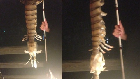 Fisherman Pulls 18-Inch 'Mutant' Shrimp from the Water