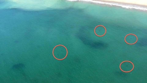 Multiple Great Whites Spotted in Rare Sighting Causing Beachgoers to 'Pucker Up'