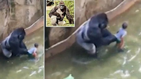 Gorilla Killed After Grabbing and Dragging 4-Year Old Boy After He Fell into Zoo Exhibit