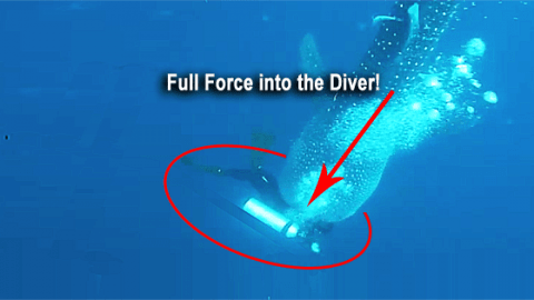 Whale Shark Attacks Diver – Real or Fake?