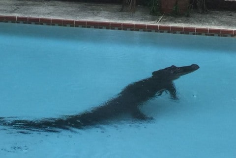 Two Large, Lost Alligators Found in Separate Bay Area Swimming Pools Simultaneously