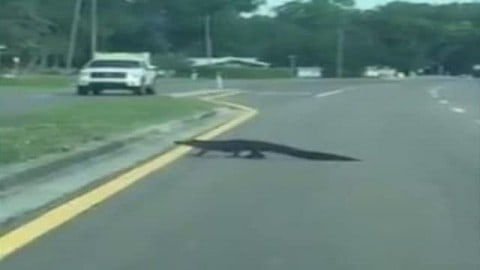 Alligator Stops Traffic After Eating Deer, Slowly Crosses Road
