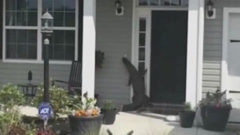 Gator Stalks Neighborhood, Rings Doorbell, Trying Its Best to Meet the Neighbors
