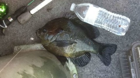 Potential Bluegill State Record Caught with a Kiddie Pole