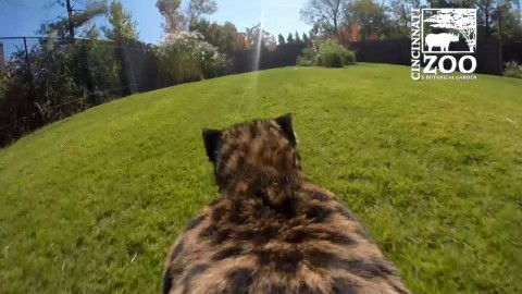 Cheetah Breaks Internet and 60mph With Back-Mounted GoPro