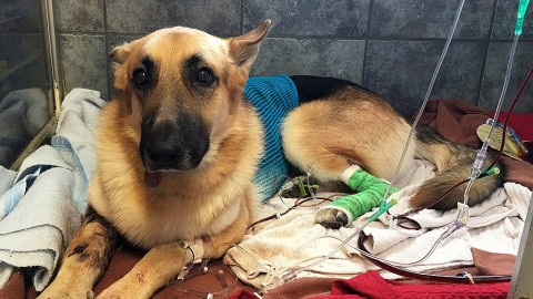 Hero German Shepherd Bit By Rattlesnake While Protecting 7-Year-Old Girl