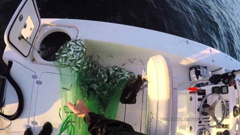 "See ""Most Bait Ever Caught in a Cast Net"" Viral Video"