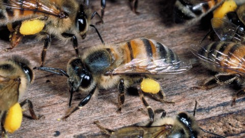 Killer Bee Colony Discovered in SC for First Time in 15 Years