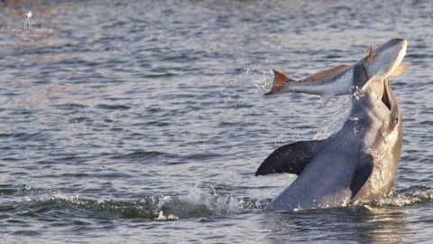 See the Jaw-Dropping Wild Dolphin Kerplunking a Redfish Photo and How the Magic Happened
