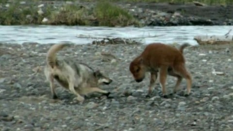 Against All Odds – Baby Bison Wins Fight with Wolf