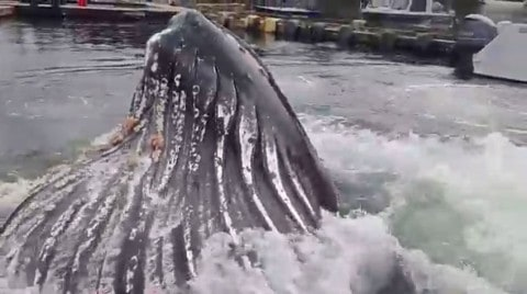 Incredible Video Shows Humpback Whale Surfacing Just Feet From Dock