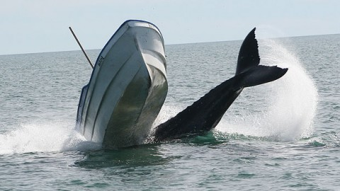 Humpback Whale Nearly Demolishes Motor Boat