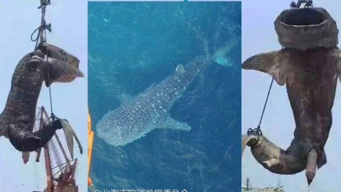 Rare Whale Shark Killed and Strung Up in Harbor – People Are VERY Angry